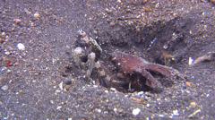 Rayed shrimpgoby on muck, Tomiyamichthys nudus, HD, UP23580 Stock Footage
