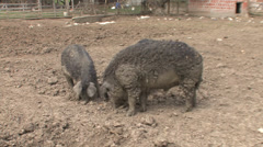 Mangalitsa pigs eating Stock Footage