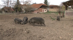 Mangalitsa pigs in yard Stock Footage