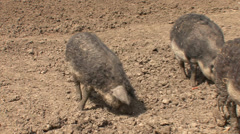Curly-haired pigs, Mangalitsa Stock Footage