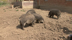 Mangalitza pigs in yard Stock Footage