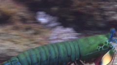 Peacock smasher mantis shrimp running on muck, Odontodactylus scyllarus, HD, Stock Footage
