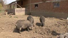 Feeding of mangalitsa pigs Stock Footage