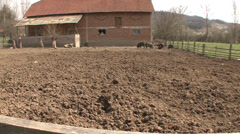 Mangalitsa pigs in countryside Stock Footage