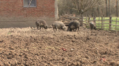 Mangalitsa pigs in pen Stock Footage