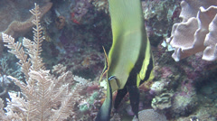 Intermediate Longfin batfish swimming, Platax pinnatus, HD, UP23784 Stock Footage