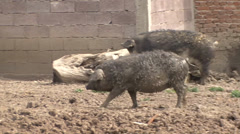 Cross-breeding pig Mangalitsa Stock Footage