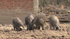 Cross-breeding swine Mangalitsa Stock Footage
