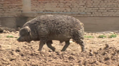 Mangalitsa pig roaming in the yard Stock Footage