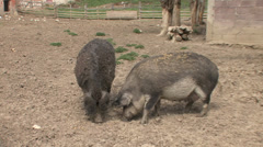 Mangalitza pigs feeding with corn Stock Footage