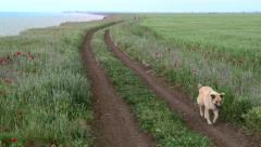 Dog running along a dirt road in a field Stock Footage