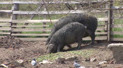 Mangalitsa, the curly-haired pigs Stock Footage