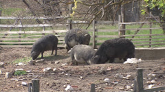 Mangalitsa swine in countryside pen, zoom out Stock Footage