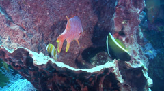 Humphead bannerfish cleaning and being cleaned on cleaning station, Heniochus Stock Footage