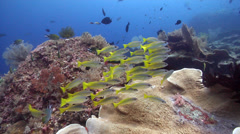 Indian snapper swimming and schooling on shallow coral reef, Lutjanus madras, Stock Footage