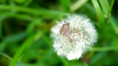 Flowering dandelion and beetle Stock Footage