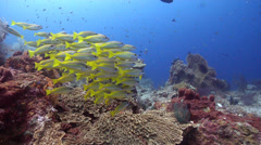 Bigeye snapper swimming and schooling on shallow coral reef, Lutjanus lutjanus, Stock Footage