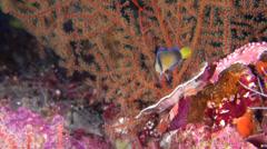 Splendid dottyback swimming, Manonichthys splendens, HD, UP23938 Stock Footage