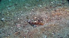 Metallic shrimpgoby displaying on muck, Amblyeleotris latifasciata, HD, UP24037 Stock Footage