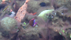 Male adult Blue flasher-wrasse swimming on muck, Paracheilinus cyaneus, HD, - stock footage