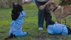 Dog Scottish Terrier Stock Footage
