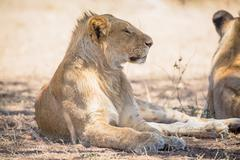 Young lion male rests in Serengeti - stock photo