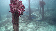 Stock Video Footage of Cnidarians | Soft Corals | Variable Soft Coral | Wharf | Wide Shot