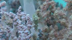 Minute filefish swimming, Rudarius minutus, HD, UP24198 Stock Footage