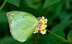 Butterfly Common Emigrant Catopsilia piomona flower closeup copy - stock photo