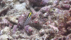 Striped poison-fang blenny mimic feeding, Petroscirtes breviceps, HD, UP24307 - stock footage