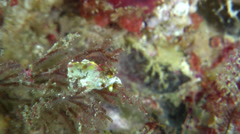 Pontohi pygmy seahorse swinging around, Hippocampus pontohi, HD, UP24312 Stock Footage