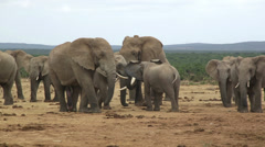 African elephant herd with male elephant with penis Stock Footage