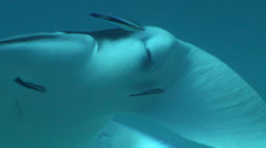 Reef manta ray cleaning and being cleaned, Manta alfredi, HD, UP24394 Stock Footage