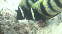 Six-banded angelfish feeding, Pomacanthus sexstriatus, HD, UP24459 Stock Footage
