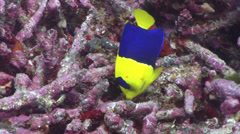 Bicolor angelfish feeding, Centropyge bicolor, HD, UP24467 Stock Footage