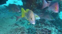 Spanish flag swimming, Lutjanus carponotatus, HD, UP24473 Stock Footage