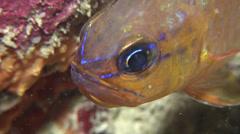 Ring-tailed cardinalfish swimming, Ostorhinchus aureus, HD, UP24479 Stock Footage