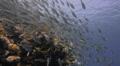 Seasonal gathering - large school of parrot fish - 25fps HD Footage
