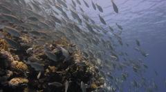 Seasonal gathering - large school of parrot fish - 25fps - stock footage