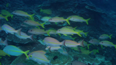 Yellowstripe goatfish fleeing and schooling on deep coral reef, Mulloidichthys Stock Footage