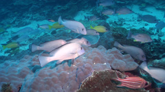 Mother-in-law fish swimming and schooling on deep coral reef, Diagramma picta, - stock footage
