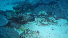 Red emperor swimming on deep coral reef, Lutjanus sebae, HD, UP24496 Stock Footage