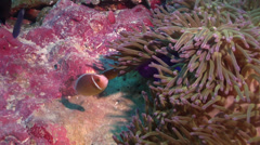 Pink anemonefish swimming on coralline algae, Amphiprion perideraion, HD, Stock Footage