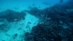 Moses perch swimming and schooling on deep coral reef, Lutjanus russellii, HD, Stock Footage