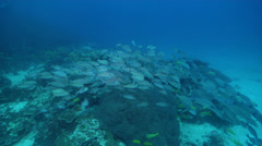 Ocean scenery lots of fish in mixed school due to divers, on deep coral reef, Stock Footage