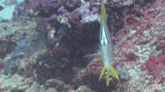 Beaked coralfish swimming, Chelmon rostratus, HD, UP24526 Stock Footage