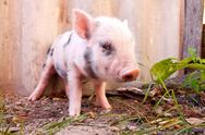 Stock Photo of Close-up of a cute muddy piglet running around outdoors on the f