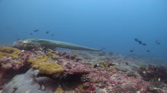 Olive sea snake swimming on shallow coral reef, Aipysurus laevis, HD, UP24588 Stock Footage