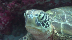 Green turtle, Chelonia mydas, HD, UP24638 Stock Footage