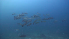 Mangrove jack swimming and schooling on deep coral reef, Lutjanus Stock Footage